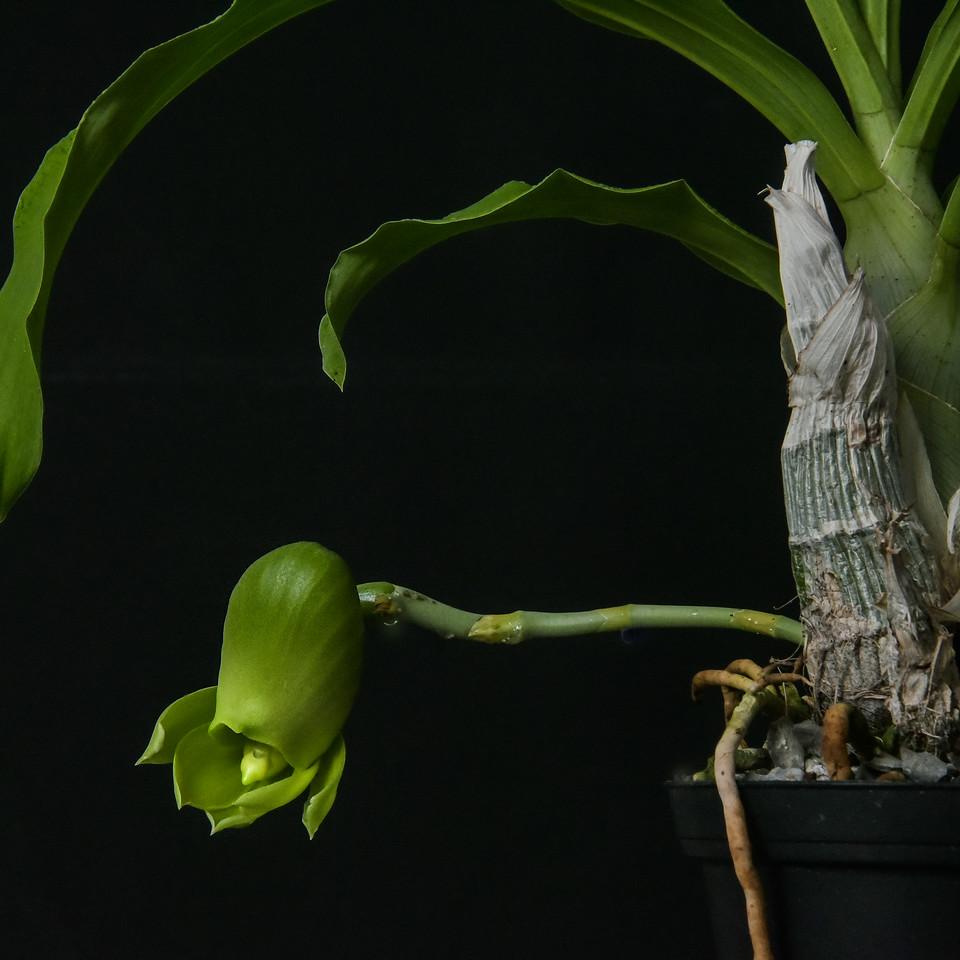 Catasetum pileatum Pierre Couret x pileatum Red Pena