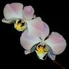 Phalaenopsis sandianum