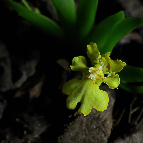 Paymorchis pusilla