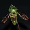 Paphiopedilum wardii 3