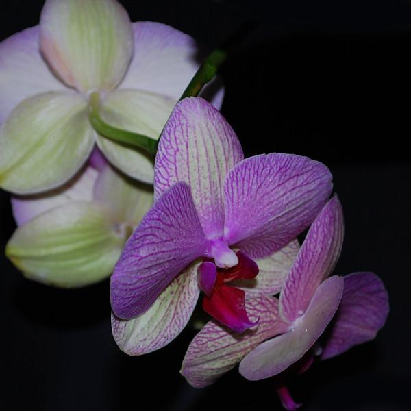 Phalaenopsis cultivar 2