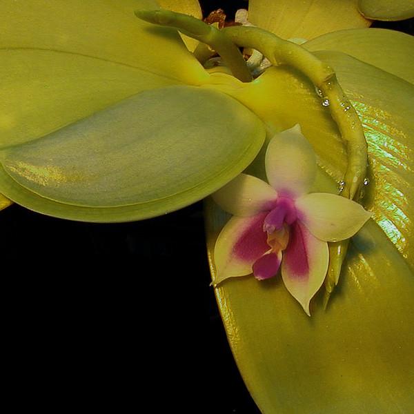 Phalaenopsis bellini