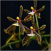 Phalaenopsis manii 3