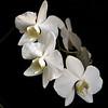 Phalaenopsis amabilis var aurea 3