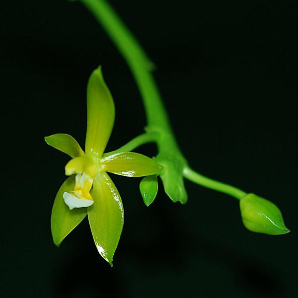 Phalaenopsis cornu cervi alba