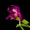 Phalaenopsis mariae magenta star
