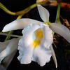 Thricopilea hennisiana