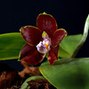 Paphiopedilum venosa dark red