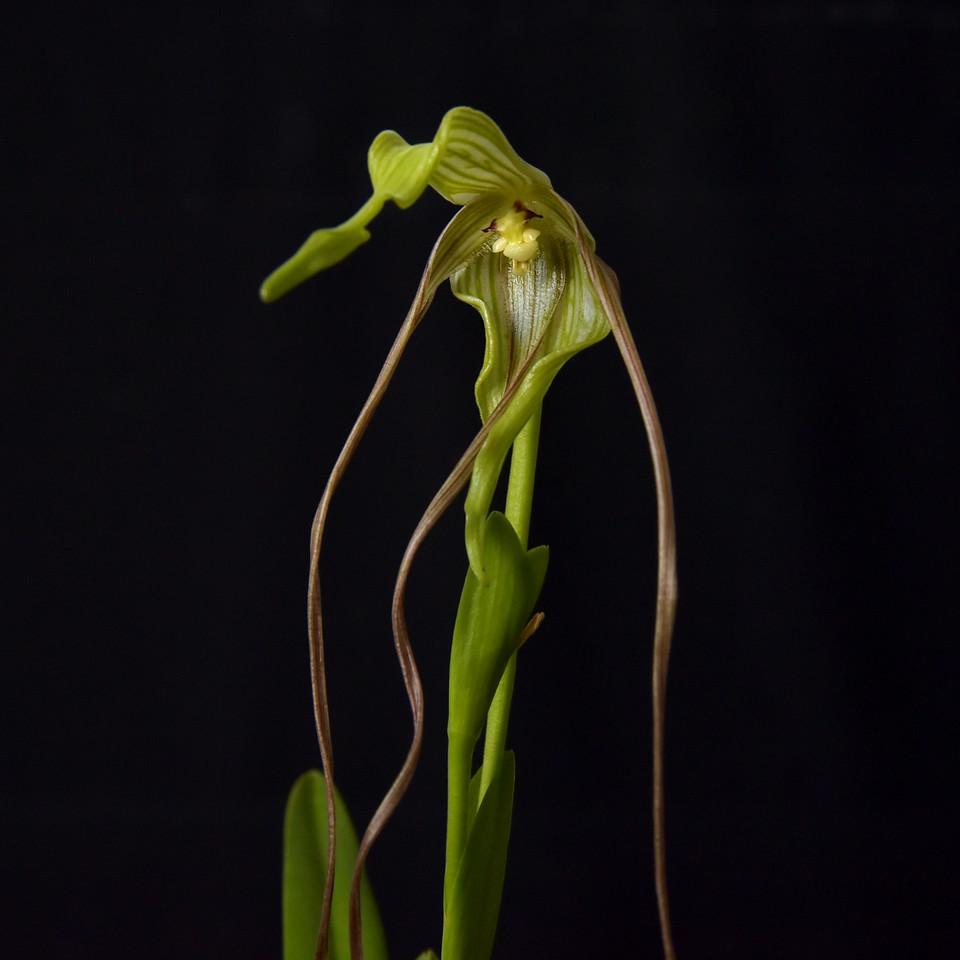 Phragmipedium lindenii