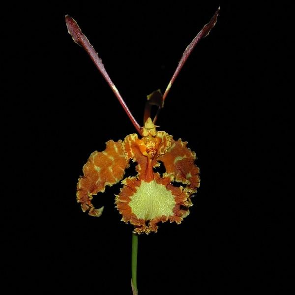 Psycopsis Oncidium papilio