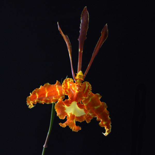 Psycopsis Oncidium Kalihi