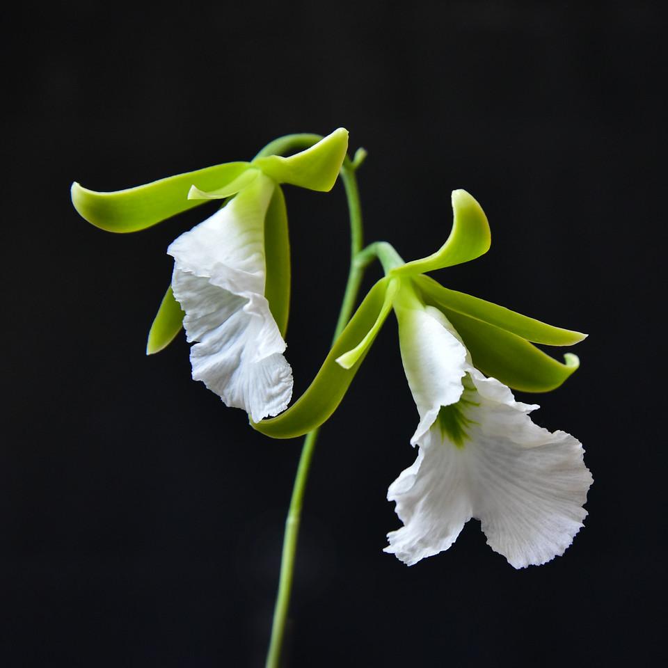 Encyclia mariae
