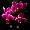 Phalaenopsis Cedar Lodge Lucy