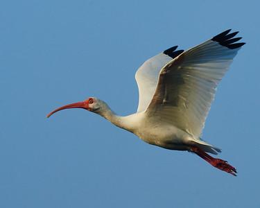 Classic White Ibis