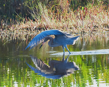 Blue Heron Reflections
