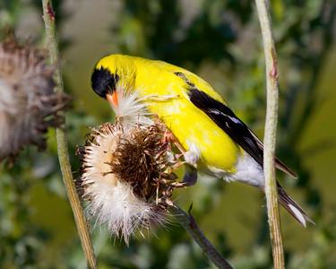 Goldfinch Gorge