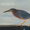 green heron bellingham washington
