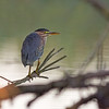 green heron mt vernon washington