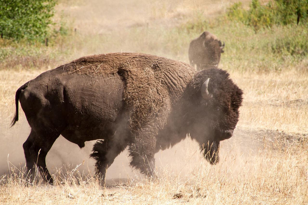 Large bull in cutting pen