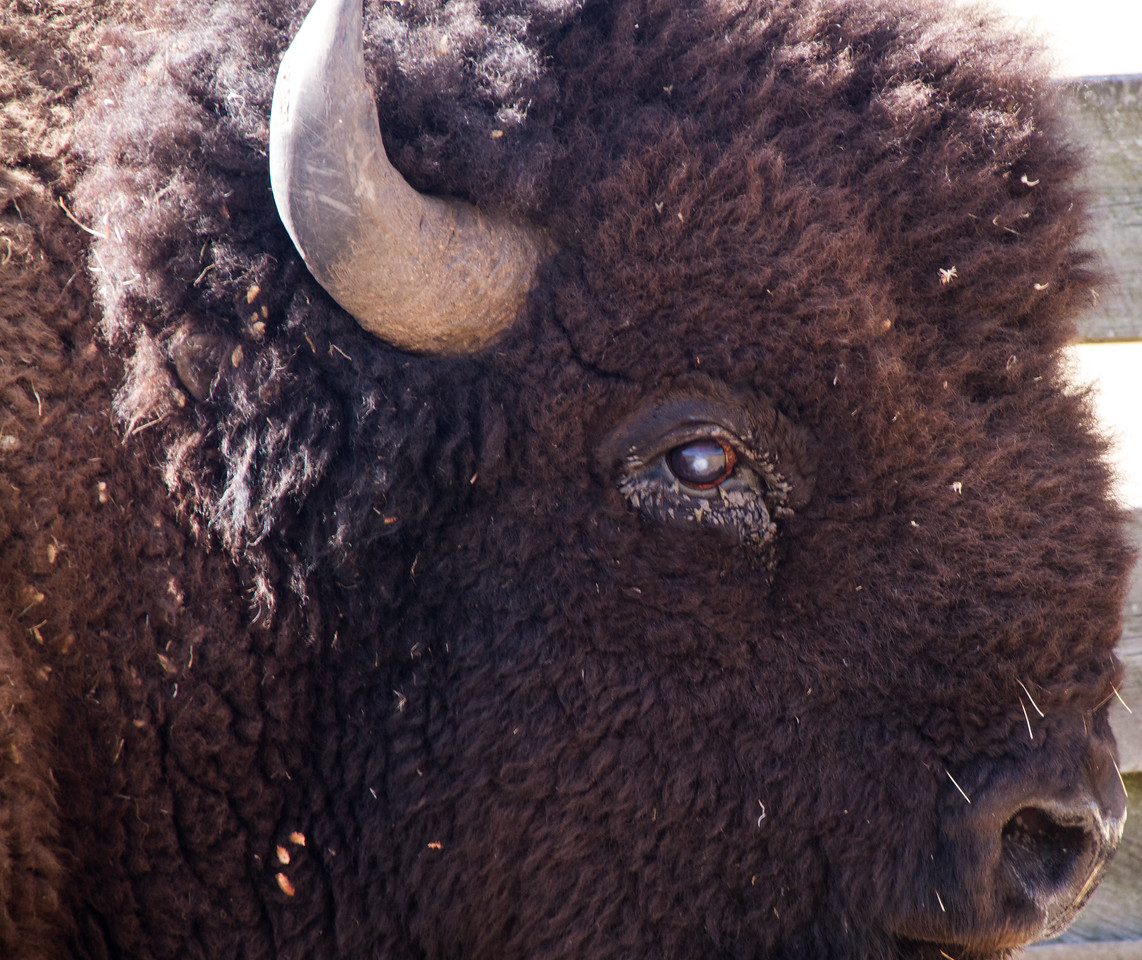 16 year old bison bull with cloudy cornea.