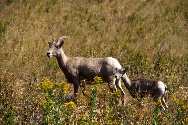 Bighorn sheep and lamb