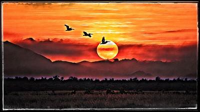 Pelicans, Town Common, Townsville, Queensland.