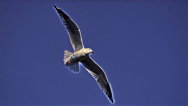 Gull, Pallarenda Beach, Queensland.