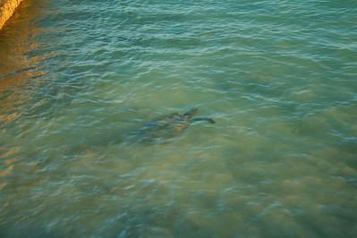 A turtle visited Waikiki Beach