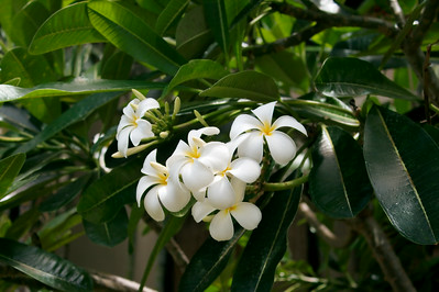 Plumeria flower, often used for leis (wreath of flowers)