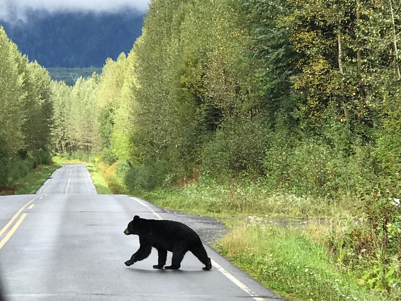 Day 3, Jesmond British Columbia to Meziadian Junction British Columbia, 659 miles<br /> <br /> Black bear taking a stroll on the Cassiar / BC Hwy 37.<br /> <br /> Photo by Meredith