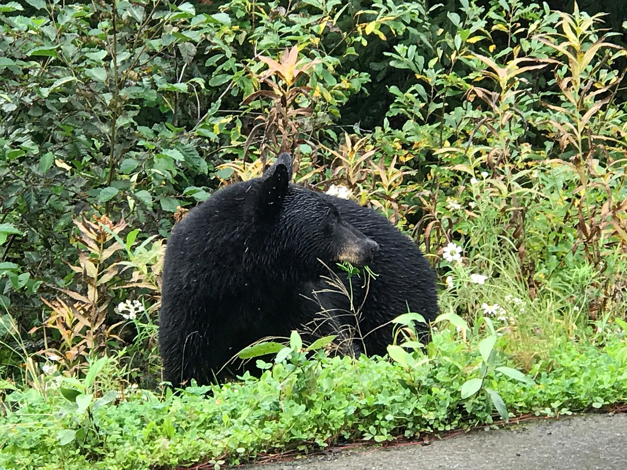 Day 3, Jesmond British Columbia to Meziadian Junction British Columbia, 659 miles<br /> <br /> Black bear apparently having a salad just off the Cassiar / BC Hwy 37.<br /> <br /> Photo by Meredith