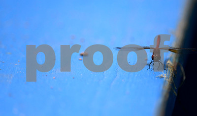 8/11/2017 Mike Orazzi | Staff A dragonfly during the Eastern Regional Little League game at Breen Field in Bristol Friday.