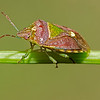 green stink bug victoria bc