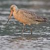 marbled godwit victoria bc