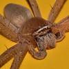 Tropical (Queensland) Huntsman Spider. 1.