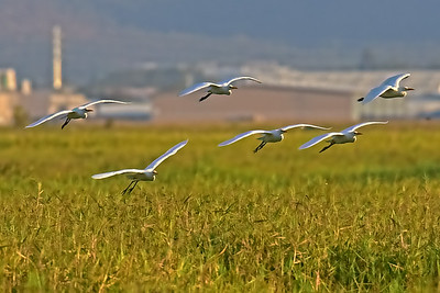 Egrets, Long Swamp, Town Common.