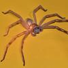 Tropical (Queensland) Huntsman Spider. 3.
