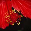 Hibiscus Macro. 4.