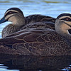 Pacific Black Ducks.