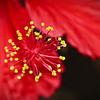 Hibiscus Macro. 1.