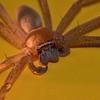 Tropical (Queensland) Huntsman Spider. 5.