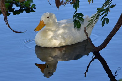 White Duck, Ross River, Townsville.