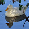 White Duck, Ross River, Townsville.