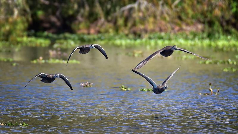"""Pacific Black Ducks, Ross River, Townsville."""