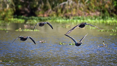 """Pacific Black Ducks, Ross River, Townsville."""