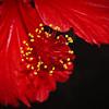 Hibiscus Macro. 3.