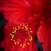 Hibiscus Macro. 2.