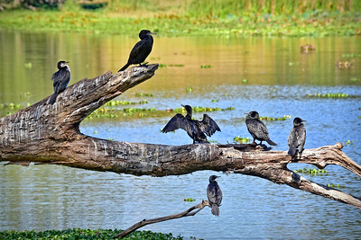 Australasian Darters and Little Pied Cormorant.