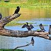 Australasian Darters and Little Pied Cormorant.