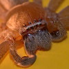 Tropical (Queensland) Huntsman Spider. 4.